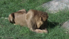 Male Lion (Panthera leo) cleaning paws and face Arkistovideo