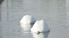White swans on a lake. - stock footage