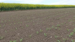 A field of young maize rows. Stock Footage