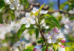 A blooming branch of apple tree - stock photo