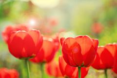 Blooming red tulips in the spring with lens flare - stock photo