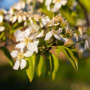 A blooming branch of a pear tree at sunset - stock photo
