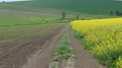 A field of blooming canola. Stock Footage