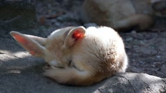 Fennec Fox Stock Footage