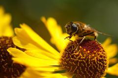 Bee on purple flower. Shallow depth of field - stock photo