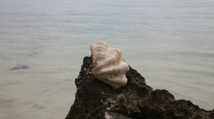Big shell on a rock - stock footage