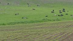 Herd of cows nooning Stock Footage