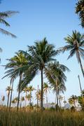 Coconut tree in garden Stock Photos
