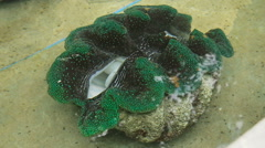 Farm giant clams,tridacna. Stock Footage