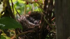 Wild bird nest with chicks Stock Footage