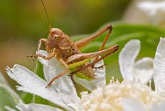 Macro shot of a brown grasshopper on a white flower - stock photo