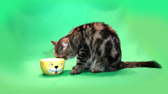 Funny exotic cat lapping of yellow bowls on a green background Stock Footage