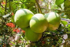 Pomelo (Citrus maxima) on tree. Natural background with tasty fruits. Vietnam Stock Photos
