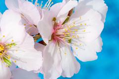 Almond tree pink-white blossoms. Almond trees in the Island of Cyprus blossom Stock Photos