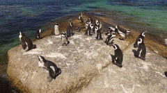 African penguins on coastal rocks, Boulders beach, Western Cape, South Africa Stock Footage