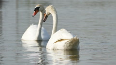 White swans on a lake. Stock Footage