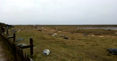 Donna Nook. Grey Seals on a Grass Dune by the Beach. In Winter Stock Footage