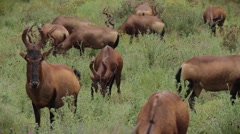 Herd of Red Hartebeest antelope,South Africa Stock Footage