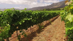 Vineyard landscape, Western Cape, South Africa Stock Footage