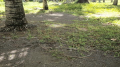 Coconut falls from palm tree to the ground. Stock Footage