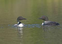 Loons Meeting on a Wilderness Lake - stock photo