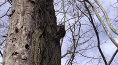 Flying squirrel on side of tree zoom in close Stock Footage