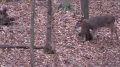 Stock Video Footage of Giant whitetail buck checking scrapes during rut in forest