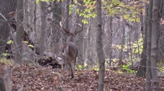 Very large whitetail buck majestically walks away in forest Stock Footage