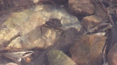 Water bug under ice swims over rocks - stock footage