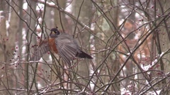 Winter Robins spreads wings and flies away - stock footage