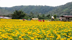 Tourists taking photos at marigold field in Loei province, Thailand Stock Footage