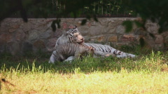 Tigress and her cubs Stock Footage