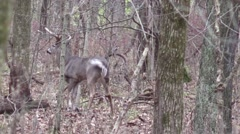 Whitetail deer buck world class giant non typical looks around over shoulder Stock Footage
