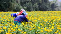 Farmers are harvesting marigold in field at Loei province, Thailand Stock Footage