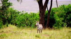 Zebra in Wildlife Stock Footage