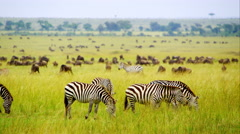 Zebras in Wildlife Stock Footage
