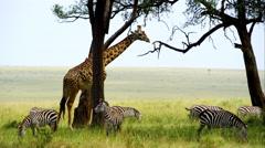 Giraffe in Wildlife in 4k - stock footage