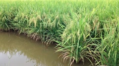 View of green paddy field before harvest season. Stock Footage