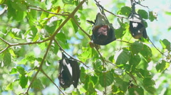 Flying foxes rest Stock Footage