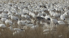 Close of Flock of Snow Geese in Marsh Stock Footage
