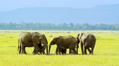 African Elephants - stock footage
