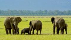 Elephant herd in Wildlife in UHD - stock footage