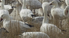Close on Snow Geese in Tall Grass Stock Footage