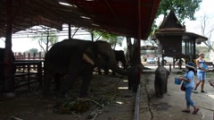 People travel and give food to elephant at Ayutthaya Elephant Camp Stock Footage