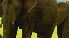 Elephant in Wildlife - stock footage