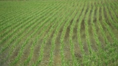 Rice field in the Japanese countryside Stock Footage
