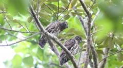Brown Hawk-Owl Stock Footage