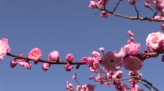 Plum blossoms Stock Footage