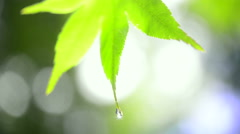 Green Maple leaf Stock Footage