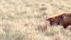 Beautful fox on the meadow HD. Wild life of  Europe. Fox looking for food. - stock footage